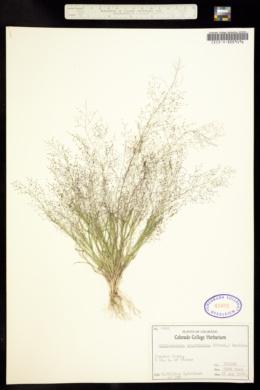 Muhlenbergia minutissima image
