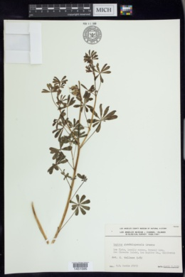 Image of Lupinus guadalupensis