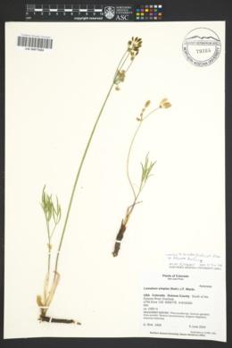 Image of Lomatium simplex