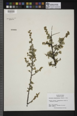 Guaiacum angustifolium image