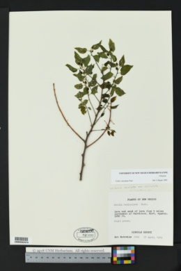 Celtis reticulata image