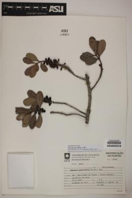 Image of Myrsine parvifolia