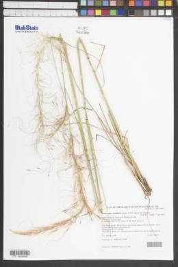 Image of Austrostipa tenuifolia