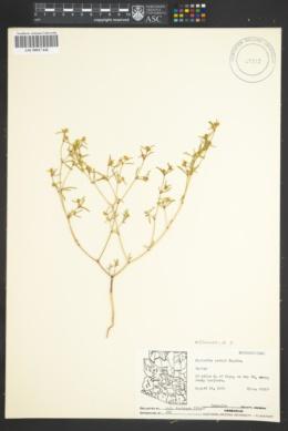 Chamaesyce parryi image