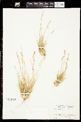 Tridens muticus image