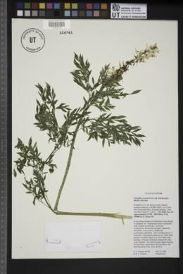 Corydalis caseana image