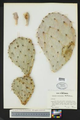Opuntia tortispina image