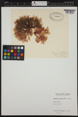Hymenena curdieana image