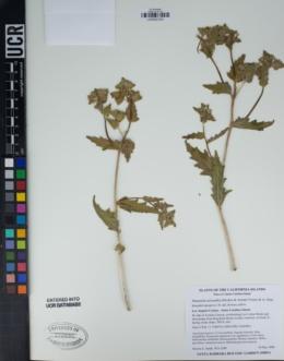 Mentzelia micrantha image