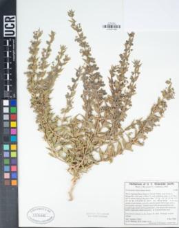 Trichostema lanceolatum image