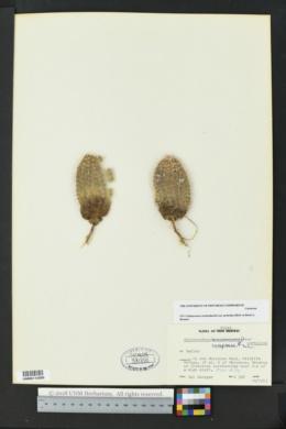 Echinocereus reichenbachii image