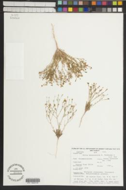 Image of Gilia heterostyla