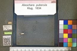Image of Aleochara puberula