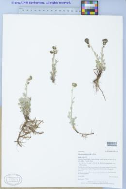 Image of Artemisia pattersonii