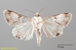 Forsebia perlaeta image