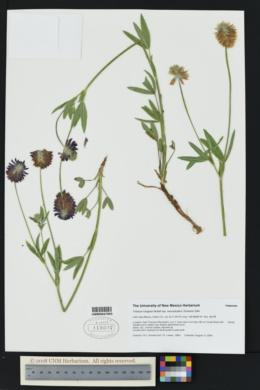 Image of Trifolium neurophyllum