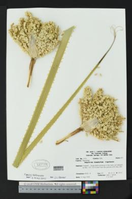Dasylirion leiophyllum image