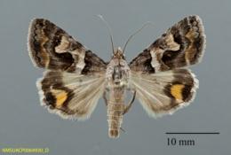 Bulia deducta image