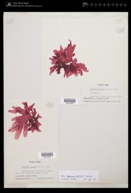 Hymenena setchellii image