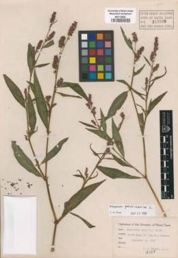 Image of Persicaria mitis