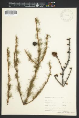 Image of Larix occidentalis