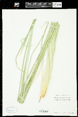 Vetiveria zizanioides image
