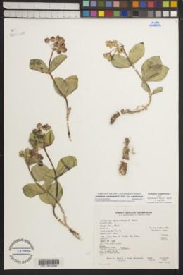 Asclepias cryptoceras image
