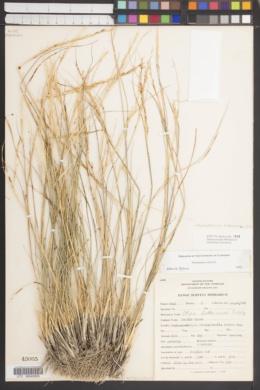 Achnatherum thurberianum image