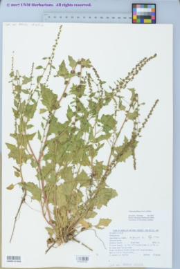 Image of Chenopodium overi