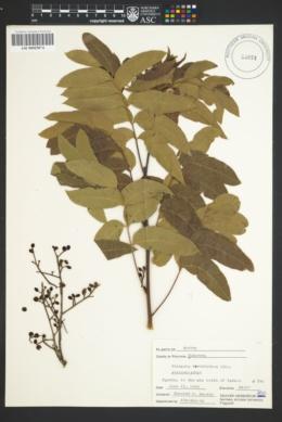 Pistacia terebinthus image