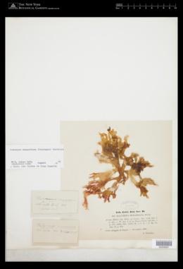 Sebdenia monnardiana image