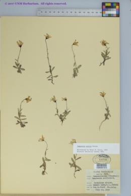 Image of Campanula aurita