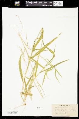 Eriochloa aristata image