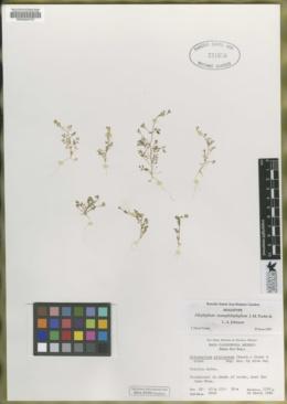 Image of Allophyllum nemophilophyllum