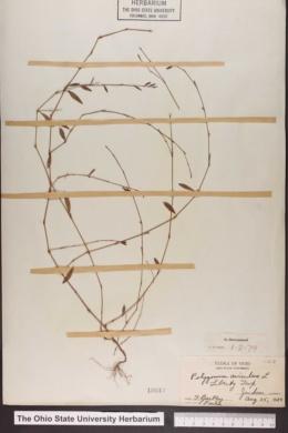 Polygonum aviculare image