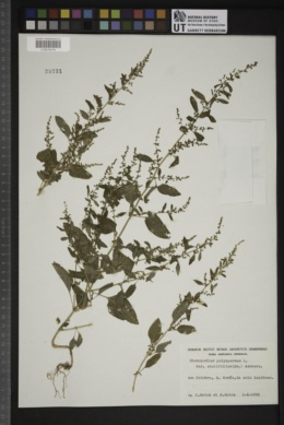 Chenopodium polyspermum var. acutifolium image