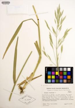 Bromus sitchensis var. carinatus image