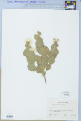 Acourtia nana image