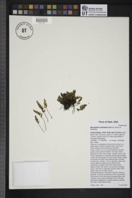 Myriopteris intertexta image