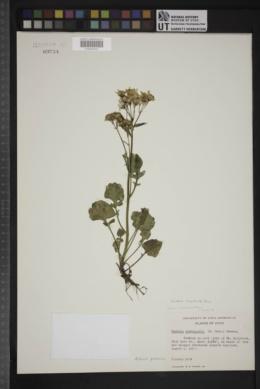 Packera streptanthifolia image