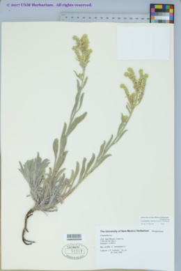 Image of Oreocarya cinerea