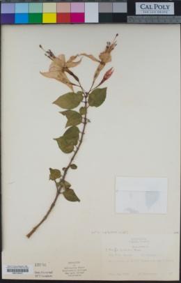 Fuchsia hybrida image