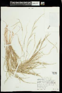 Parapholis incurva image
