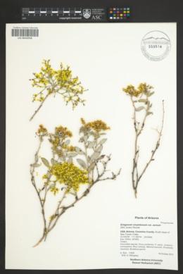 Eriogonum corymbosum var. aureum image