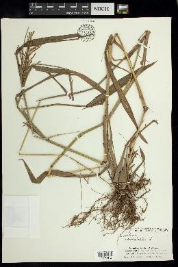 Paspalum paniculatum image
