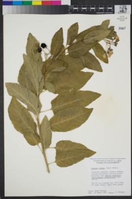 Image of Solanum wallacei