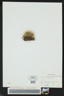 Pediocactus simpsonii var. simpsonii image