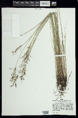 Image of Fimbristylis pallidula