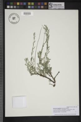 Image of Artemisia longiloba