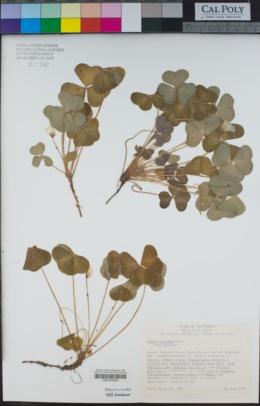 Oxalis oregana image